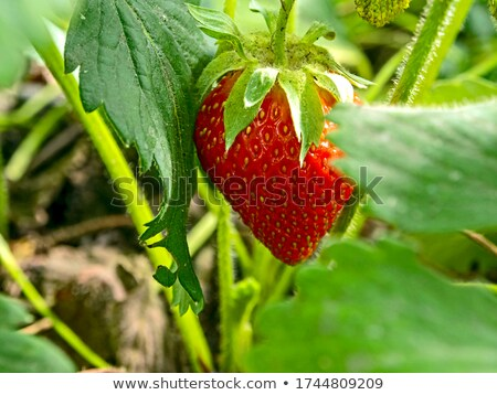Narrow focus strawberries stock photo © bobkeenan