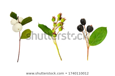 Berry collections Stock photo © danielgilbey