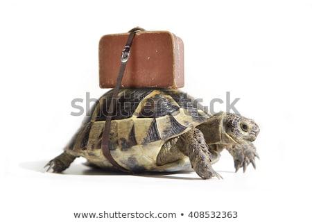 tartaruga · bom · ilustração · verde · jovem · isolado - foto stock © dagadu