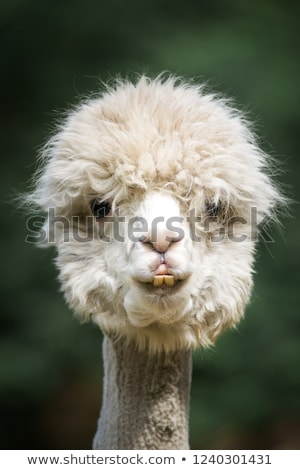 head of a white alpaca stock photo © tepic