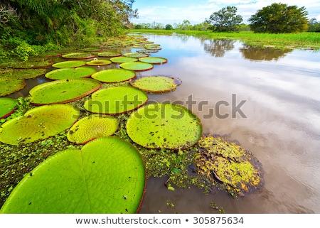 amazon waterlily stock photo © thisboy