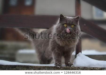 Gray cat lick her lips. Outside, snowy. Interested look. Stock photo © vitek38