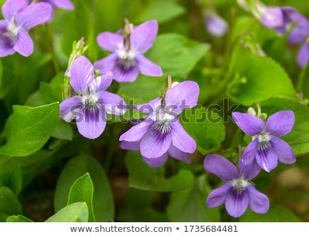 синий цветок цветы зеленый листьев завода Сток-фото © mobi68