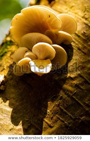 Mała grupa ostryga grzyby biały odizolowany żywności Zdjęcia stock © frank11