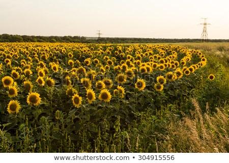 フィールド 黄色 ひまわり モンタナ ストックフォト © DonLand