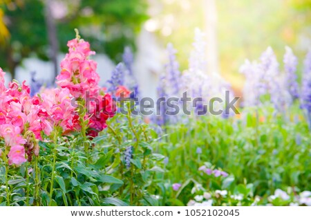 Colorful bed of pink flowers in orange background Stock photo © AlessandroZocc
