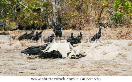 Stock photo: dead cow getting eat by buzzards