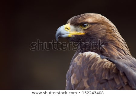 golden eagle aquila chrysaetos stock photo © dirkr