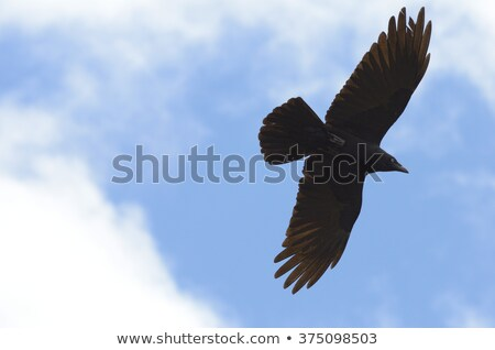 Torresian Crow (Corvus orru) Stock photo © dirkr