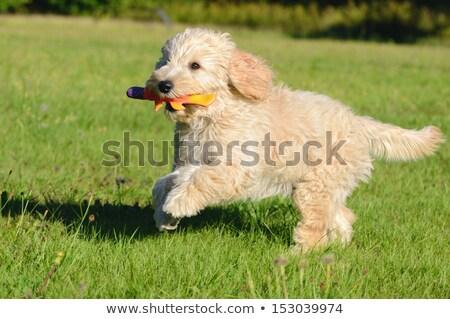 ストックフォト: Happy Golden Retreiver Dog With Poodle Playing Fetch Dogs Pets