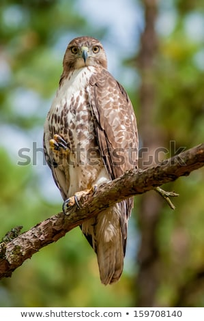 coopers hawk perched on tree watching for small prey Stock photo © alex_grichenko