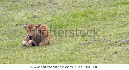 Baby Bison resting in Yellowstone Stock photo © emattil