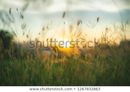 Naplemente préri színes illusztráció vektor Stock fotó © derocz
