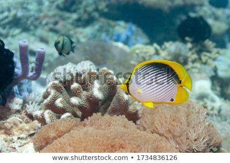 Butterflyfish Stock photo © MKucova