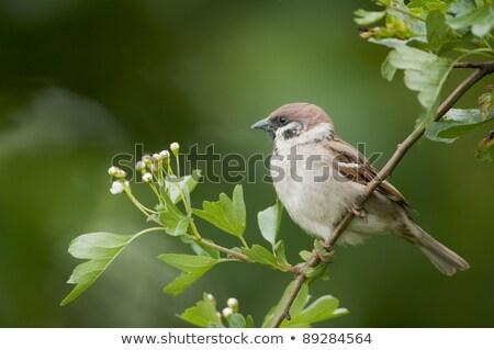 árvore pardal pássaro Foto stock © chris2766