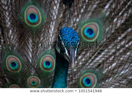 павлин красочный хвост птица синий цвета Сток-фото © OleksandrO