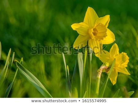 narcis · voorjaar · Pasen · lentebloemen · elegante - stockfoto © lianem