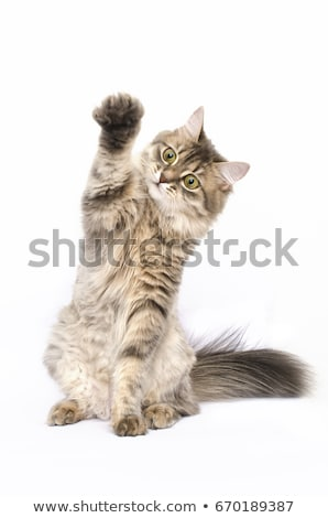 Cat sits with paw up Stock photo © phakimata