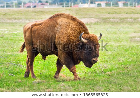 European Bison In Wildlife Sanctuary Stock photo © PetrMalyshev