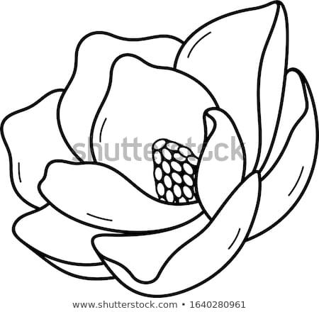 Zuidelijk magnolia illustratie natuur blad Stockfoto © bluering