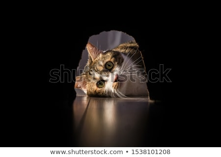 Cat waiting for the rat Stock photo © bluering