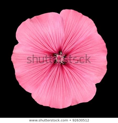 ピンクの花 花弁 のような 孤立した 黒 花 ストックフォト © artfotodima