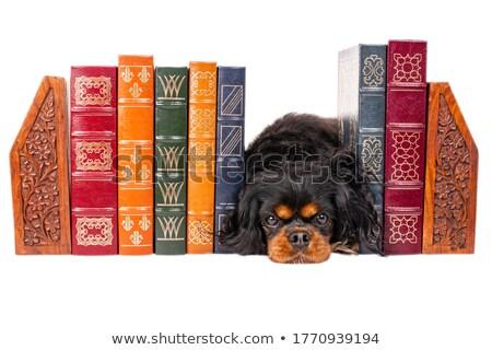 Stock photo: cute puppy Cavalier King Charles Spaniel portrait in white studi