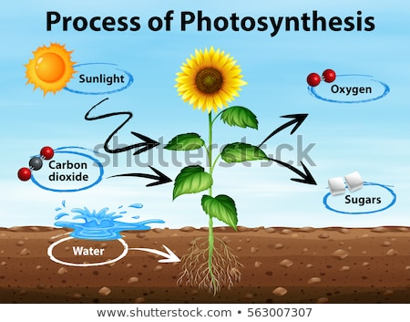 diagram showing sunflower and process of photosynthesis stock photo © bluering