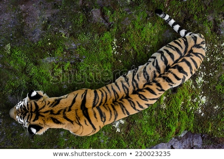 Large tiger in the wild is on the hunt. Stock photo © mcherevan