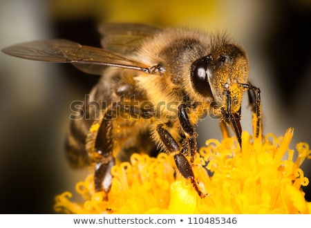 Háziméh virágpor sárga virág természet kert szépség Stock fotó © pmilota