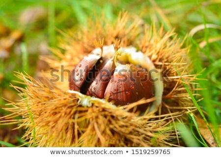 kirpi · sonbahar · yaprakları · arama · gıda · kahverengi · orman - stok fotoğraf © adrenalina