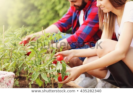 farmer holding young tomato plant in vegetable garden stock photo © stevanovicigor