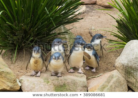Small blue penguin standing on a rock Stock photo © Hofmeester
