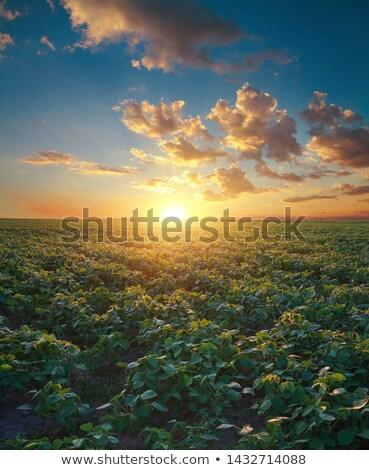 Organic soybean field in sunset Stock photo © stevanovicigor