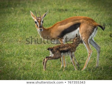 impala or antelopes grazing in savannah at africa stock photo © dolgachov