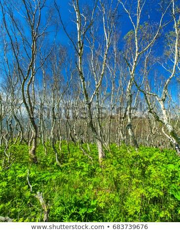 dense ground elder wild herb plant in birch forest stock photo © mps197