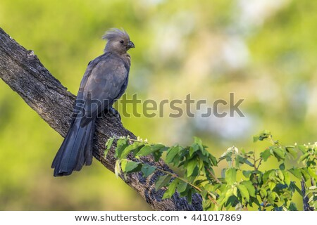 Grey go-away bird in Kruger national park Stock photo © compuinfoto