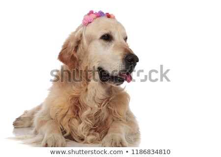 curious golden retriever wearing colorful flowers crown looks to Stock photo © feedough