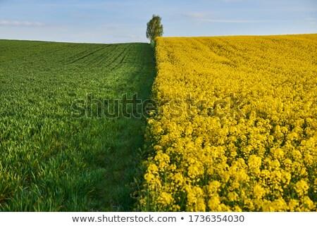 fiori · coltivato · agricola · campo · protezione - foto d'archivio © simazoran