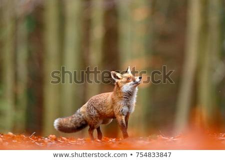 neugierig · Fuchs · stehen · Schnee · Lichtung · rot - stock foto © taviphoto