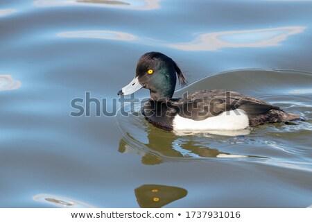 Belo pato masculino lagoa natação superfície da água Foto stock © taviphoto