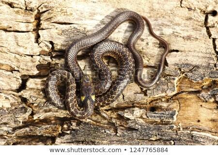 Serpente legno nero testa animale Foto d'archivio © taviphoto