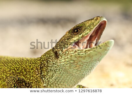 aggressive male green lizard in mating season Stock photo © taviphoto