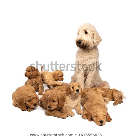 ゴールデンレトリバー · 白 · 幸せ · 犬 · スタジオ · 愛 - ストックフォト © catchyimages
