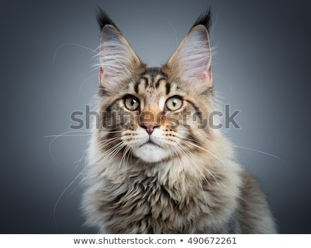 big adult black tabby maine coon cat stock photo © catchyimages