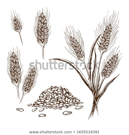 Set of various wheat spikelets, vector illustration. Stock photo © kup1984