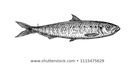 hand drawn herring vector illustration in sketch style stock photo © arkadivna