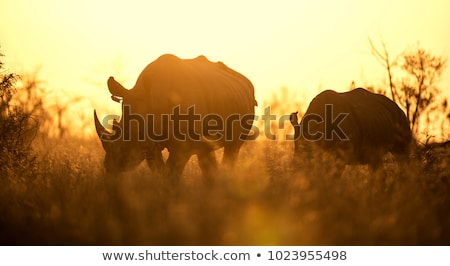 Fehér orrszarvú arany fény nagy Dél-Afrika Stock fotó © simoneeman
