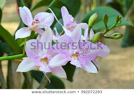Violet orchid blossom, Cattleya relatives Stock photo © Ansonstock