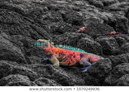 クリスマス イグアナ 島 海洋 島々 男性 ストックフォト © Maridav